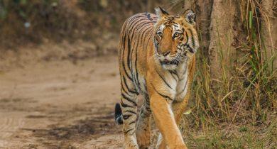 Bengal-Tiger_Corbett_Uttarakhand