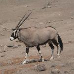 Oryx, Largest Antelope