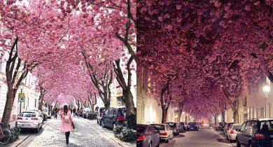 cherry-blossom-tunnels-bonn-germany