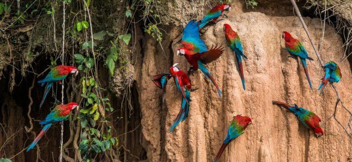 macaws-at-manu-national-park