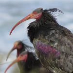 Bald Ibis From The North