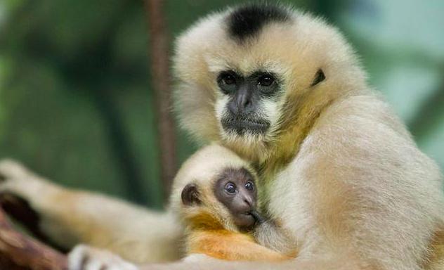 Rare Hainan Gibbon Infy World