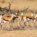 Springbok With Amazing Horns