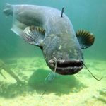 Wels Catfish - sheatfish