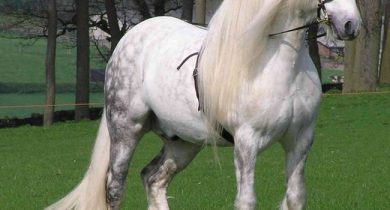 percheron-horse
