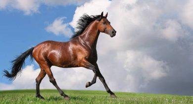 trakehner-horses