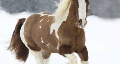 tinker-horse