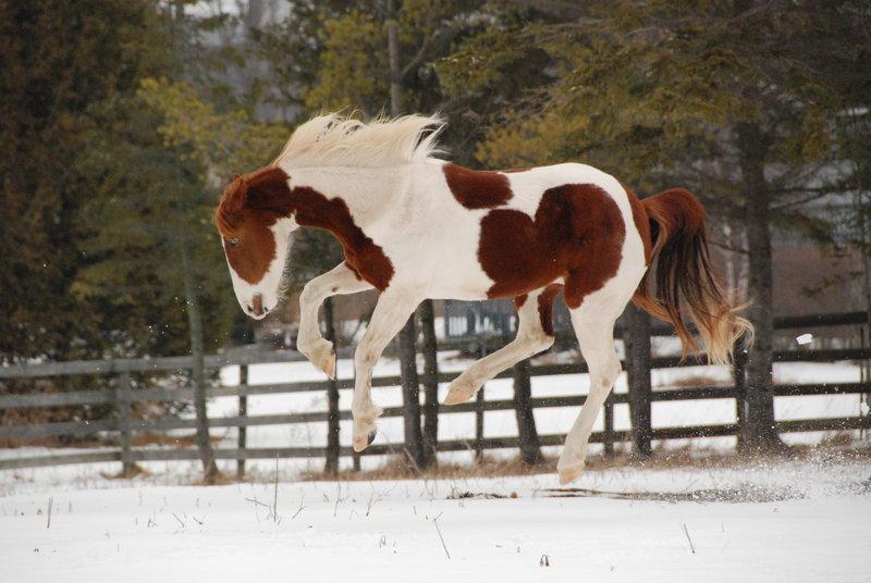 Amazing Pinto Horse Infy World