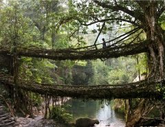 Living Root Bridges, India