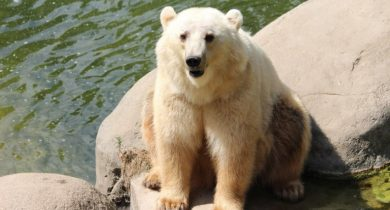 Grolar Bear ( Grizzly Bear + Polar Bear )