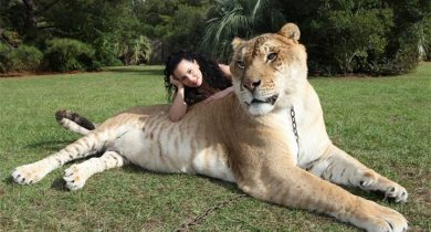 Hercules-Liger-Guiness-World-Record-Biggest-Cat-with-female-keeper