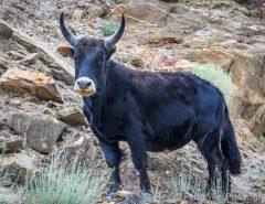 Dzo ( Yak + Domestic Cattle )