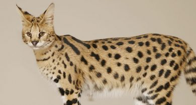 Savannah ( Serval + Domestic Cat )