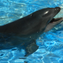 Wholphin_Oahu_Hawaii