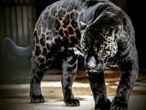 Jaglions ( Jaguars + Lions )